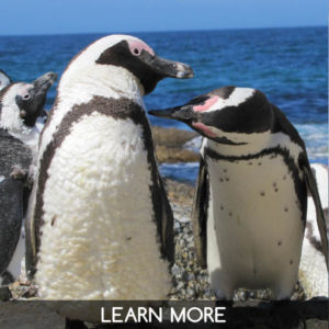 Visit the African penguins on our tour from Cape Town