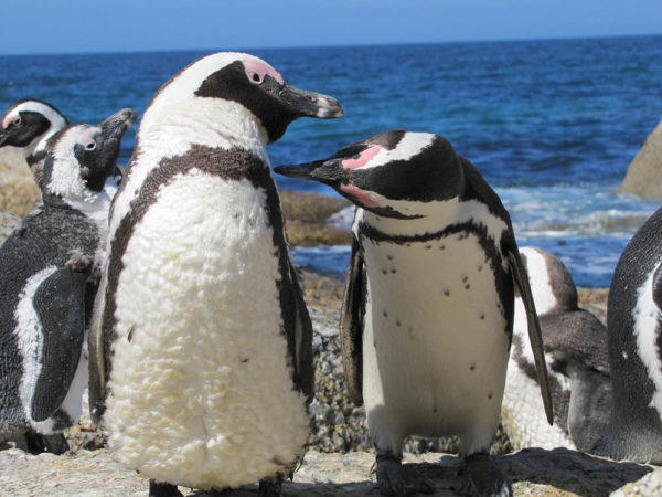 African Penguins tour