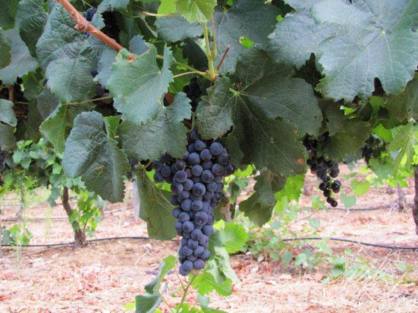 Cape Friendly Tours Winelands wine tasting Stellenbosch